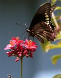 Black Butterfly on red flower vertical in garden 2.jpg