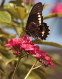 Black Butterfly on red flower vertical in garden.jpg