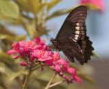 Black Butterfly on flower in garden.jpg