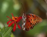 Monarch on flower in the garden_filtered.jpg