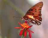 Orange Butterfly in butterfly garden_filtered.jpg