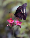 Black Butterfly on red flower vertical 4.jpg