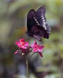 Black Butterfly feeding on red flower vertical.jpg
