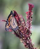 Monarch in Butterfly Garden on Purple Flower 2.jpg