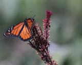 Monarch in Butterfly Garden on Purple Flower.jpg