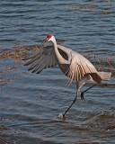 Sandhill Crane Near Mikes House Dancing in the Water.jpg