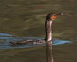 Cormorant in the water.jpg