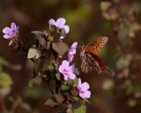 Butterfly on a pink flower at Circle Bar B 2.jpg