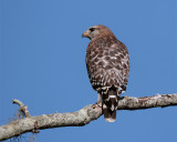 Red Shoulder Hawk on branch closeup.jpg