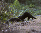 Circle Bar B River Otters 3.jpg