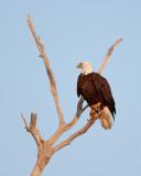 Bald Eagle on Dead Tree.jpg
