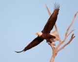 Bald Eagle on Dead Tree Taking Off.jpg