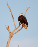 Bald Eagle on Dead tree Looking Right 2.jpg