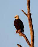 Bald Eagle in tree vertical.jpg