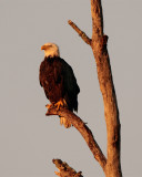 Bald Eagle in the treetop.jpg
