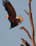Bald Eagle Taking Off.jpg