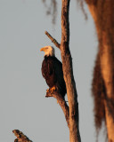 Bald Eagle in the treetop vertical.jpg