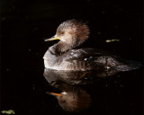 Circle Bar B Merganser close up.jpg