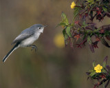 Gray Gnatcatcher 3.jpg