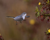 Gray Gnatcatcher 4.jpg