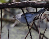 Gray Gnatcatcher on a twig.jpg