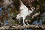 Osprey on a branch wings up.jpg