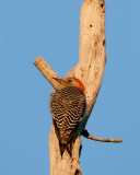 Red Bellied Woodpecker at Dawn.jpg