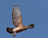 Red Shoulder Hawk Flying.jpg