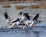 Pelicans landing in the water.jpg
