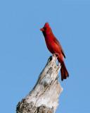 Circle B Cardinal on Dead Tree.jpg