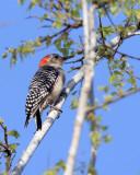 Red Bellied Woodpecker in the tree.jpg