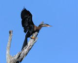 Circle B Anhinga in a tree wings spread.jpg