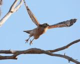 Red Shoulder Hawk Launch.jpg