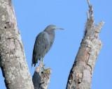 Circle B Little Blue Heron.jpg