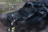 Gator Head.jpg