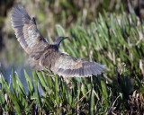 American Bittern in flight.jpg