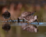 Circle B Dowitchers Feeding.jpg