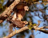 Red Shoulder Hawks Mating 3.jpg