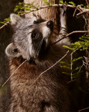 Circle B Racoon hanging from tree.jpg