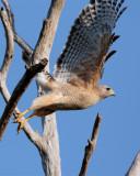 Hawk Launching from Tree on Marsh Rabbit Run.jpg