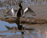 Circle B Anhinga Drying its wings.jpg