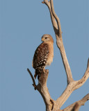 Circle B Red Shoulder Hawk on dead tree on Marsh Rabbit Run.jpg
