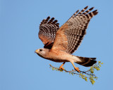 Circle B Red Shoulder Hawk In Flight with Nesting Material.jpg