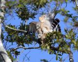 Circle B Red Shoulder Hawks Mating.jpg