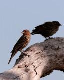 Female Redwing Black Bird