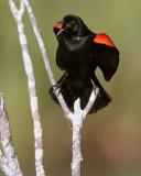 Circle B Redwing Blackbird calling.jpg