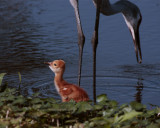 Sandhill Crane Chick next to Mommy.jpg