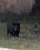 Hogs on Shady Oak.jpg