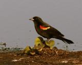 Circle B Redwing Blackbird on Wading Bird Way 2.jpg