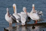 Circle B Preening Pelicans.jpg